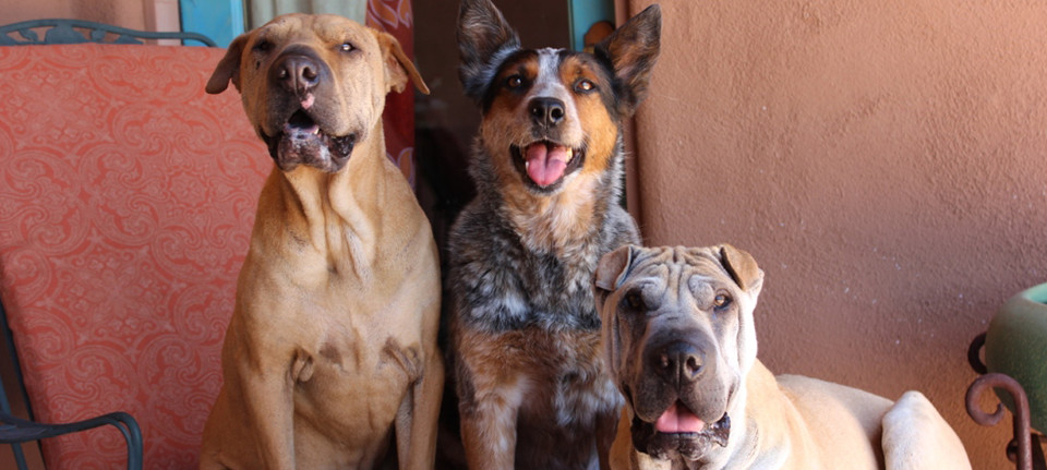 Dog Training in Tucson - Customized In Home Training Programs